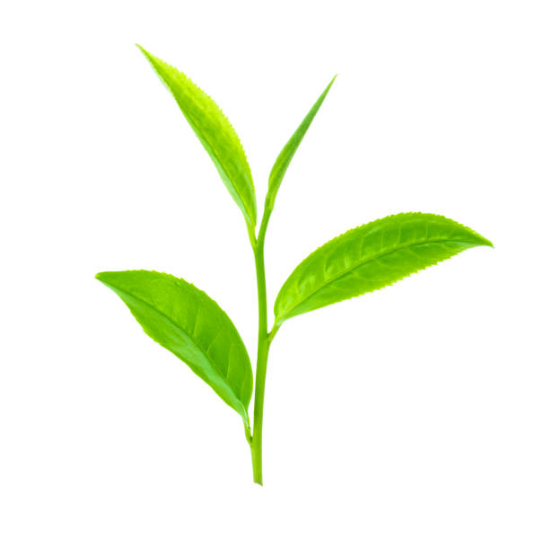 green tea leaf. - tea leaf stock photos and pictures