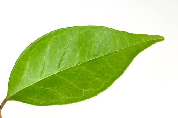 Grünes Teeblatt mit weißem Hintergrund – Foto