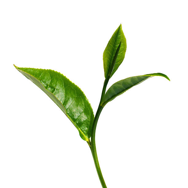 green tea leaf with white background - tea leaf stock photos and pictures