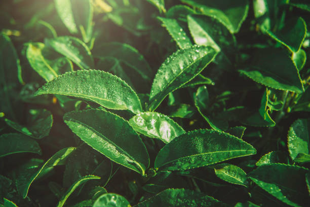 Green tea leaves in a tea plantation in morning Green tea leaves in a tea plantation in morning greentea stock pictures, royalty-free photos & images