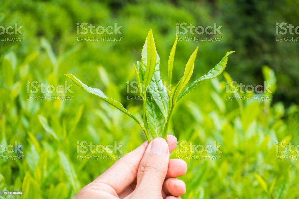 Grüner Tee Blätter  Lizenzfreies stock-foto