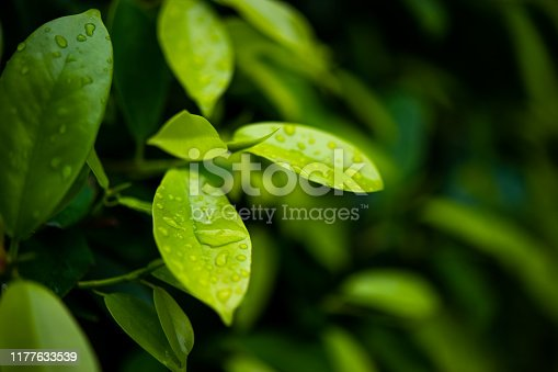 Green tea leaves, young shoots that are beautiful