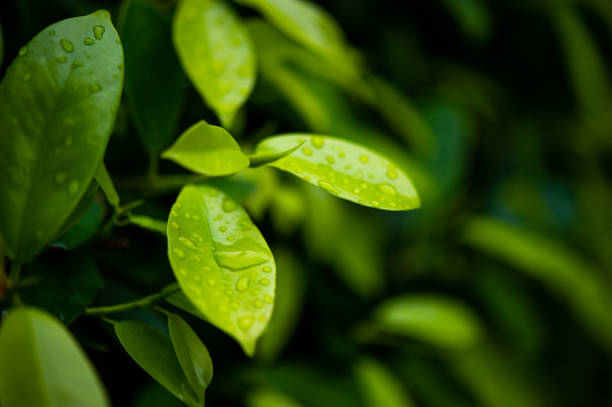 Green tea leaves, young shoots that are beautiful Green tea leaves, young shoots that are beautiful greentea stock pictures, royalty-free photos & images