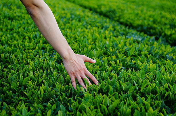 green tea - jeju island stock photos and pictures