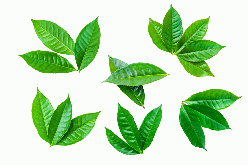 fresh green tea plant leaf on white background for design elements, Flat lay