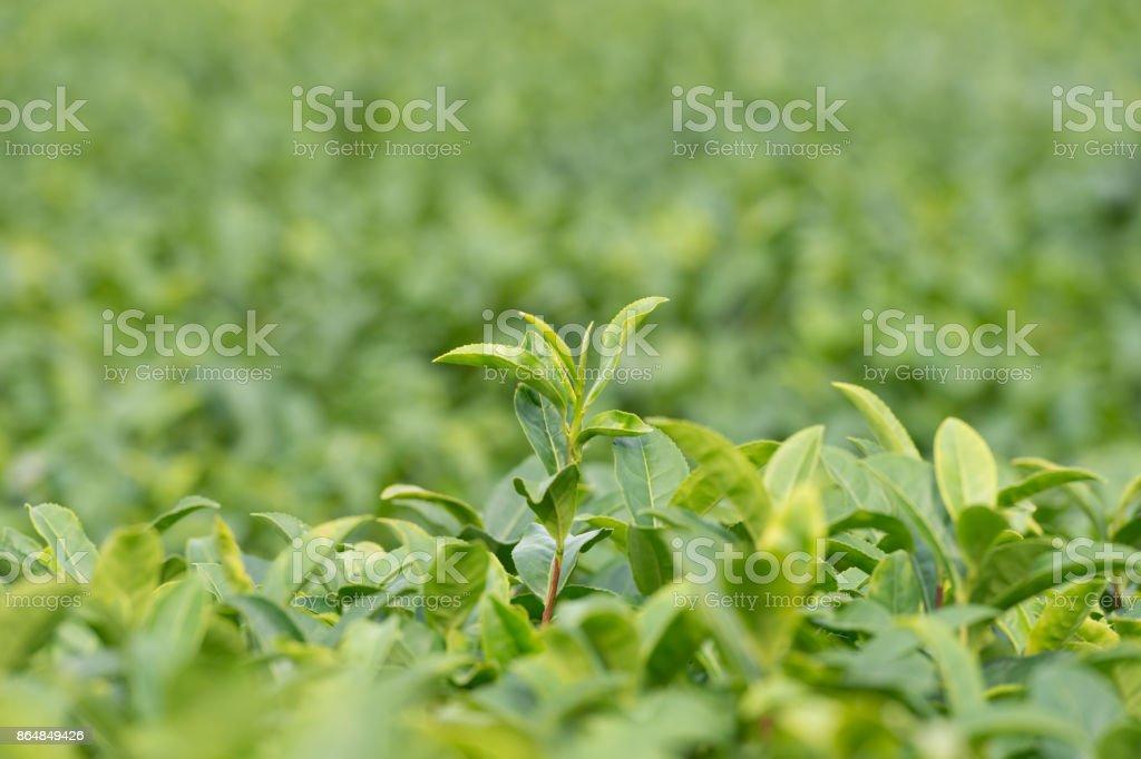 Green tea plant stock photo