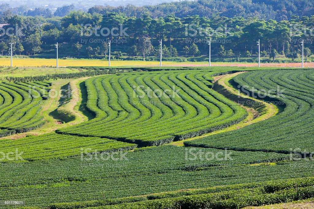 green tea plantation and cosmos flowers and blue sky background. stock photo