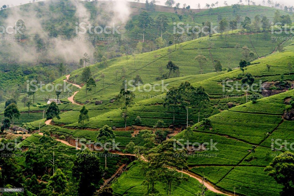 green tea plantation in Nuwara Eliya, Sri Lanka in the highland stock photo