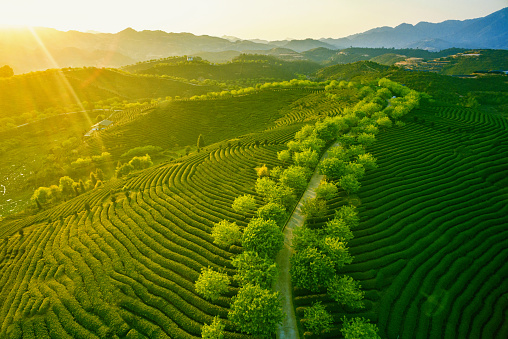 istock Green tea plantation landscape 521496980