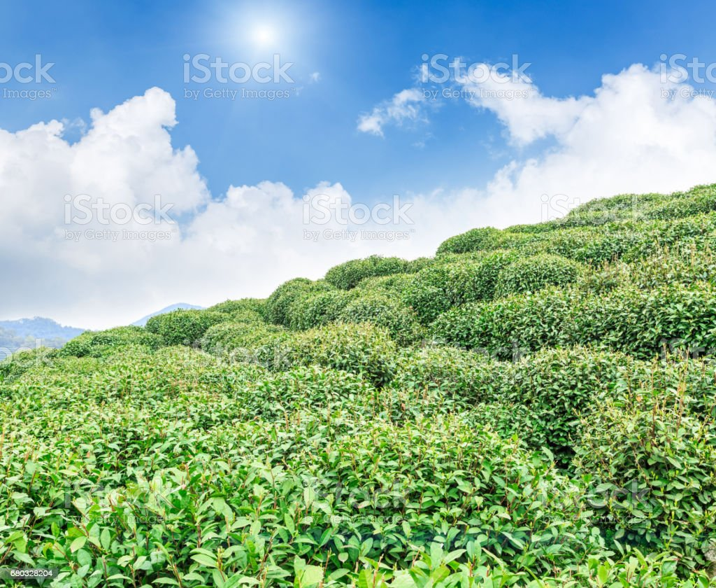 Green tea plantation landscape,china royalty-free stock photo