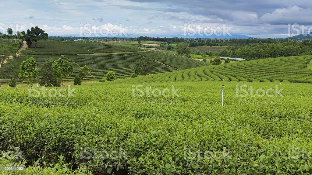Green tea plantation over highland royalty-free stock photo