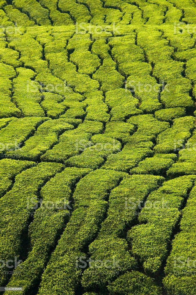 green tea plantation royalty-free stock photo