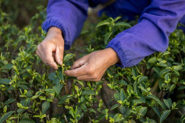 Green tea plantation stock photo