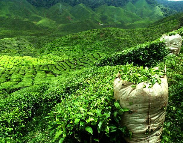 green-plantage - darjeeling tee stock-fotos und bilder