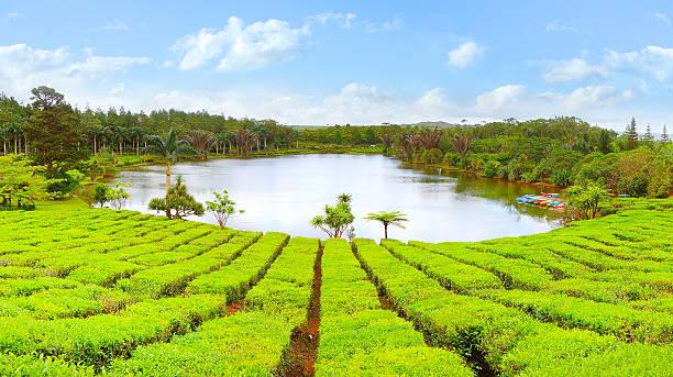 Grüner Tee-Plantage. – Foto