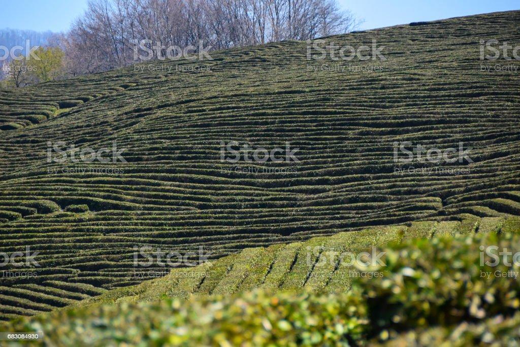 Green Tea Plantation foto de stock royalty-free