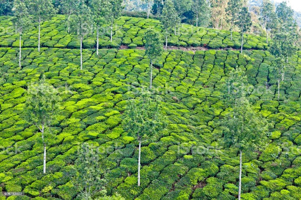Green tea plantations in Kerala, South India stock photo