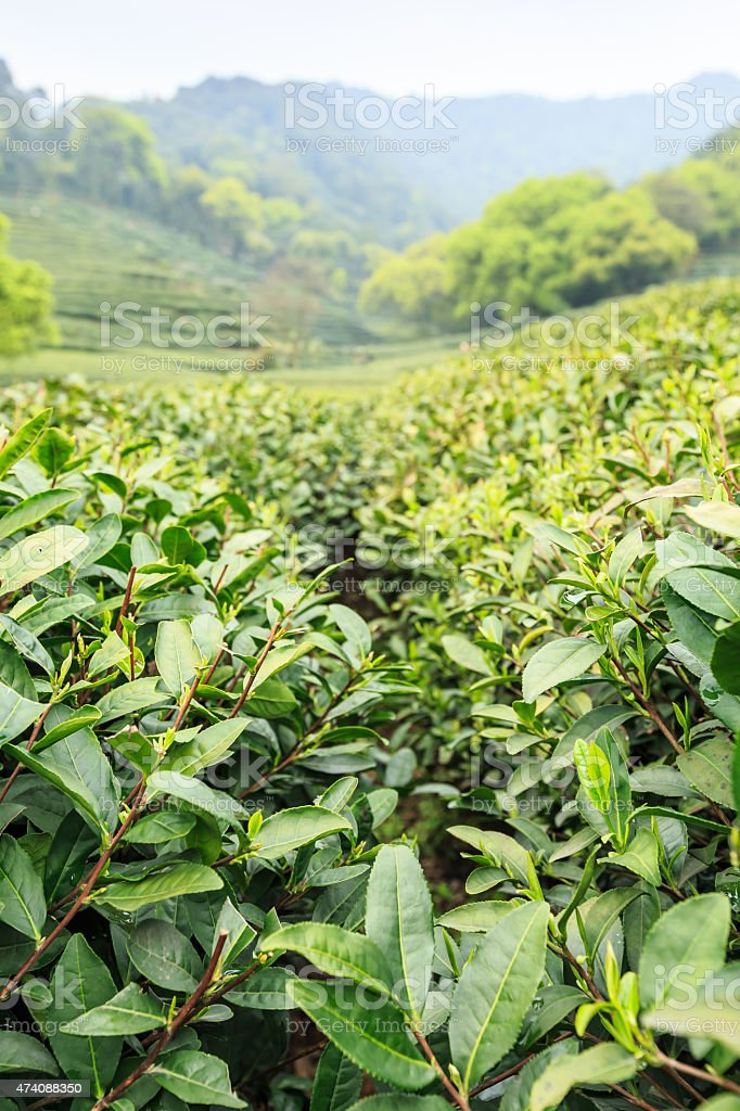 Green tea plantations in the mountains stock photo