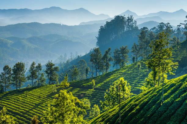 grüner tee-plantagen. munnar, kerala, indien - darjeeling tee stock-fotos und bilder