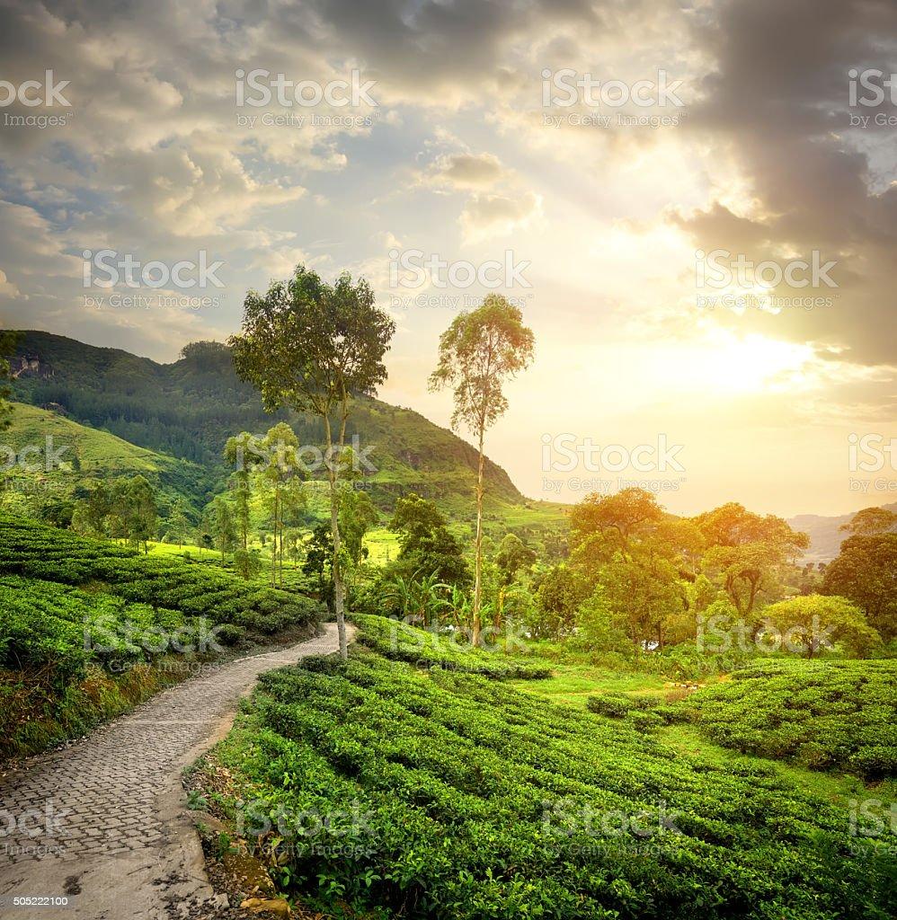 Green tea plantations stock photo