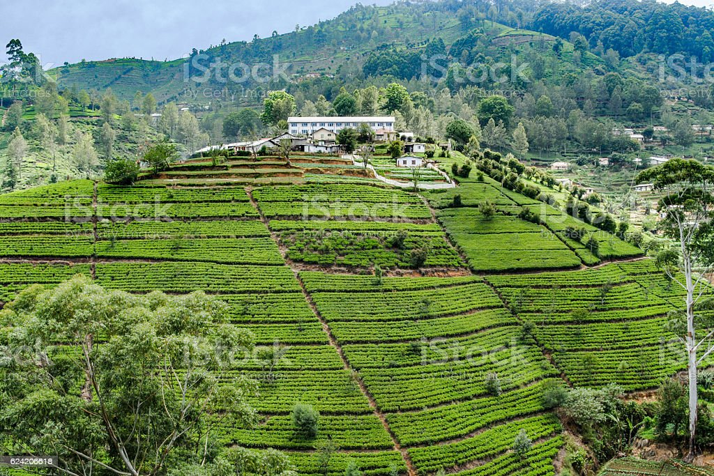 green tee terraces in the highland from Sri Lanka stock photo