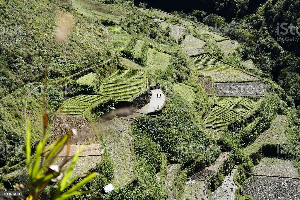 green terraced fields luzon philippines stock photo