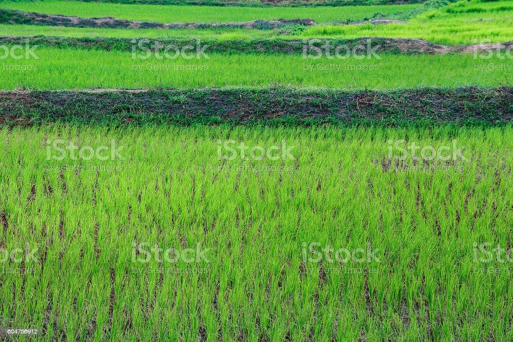 Green Terraced Rice Field in C stock photo