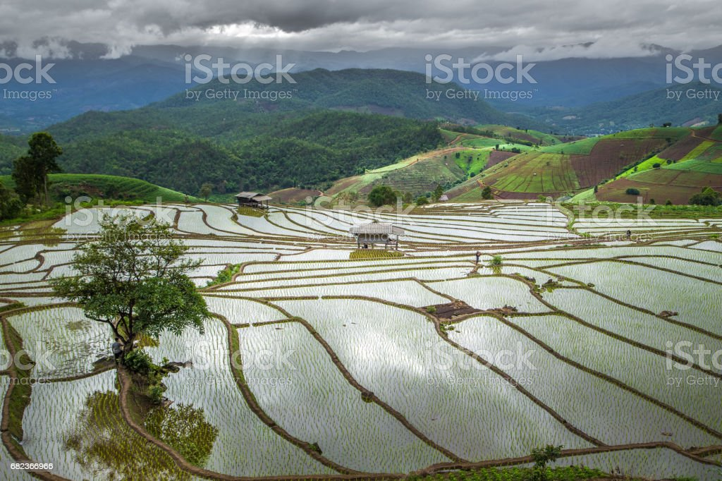 Green Terraced Rice Field in Pa Pong Pieng , Mae Chaem, Chiang Mai royaltyfri bildbanksbilder