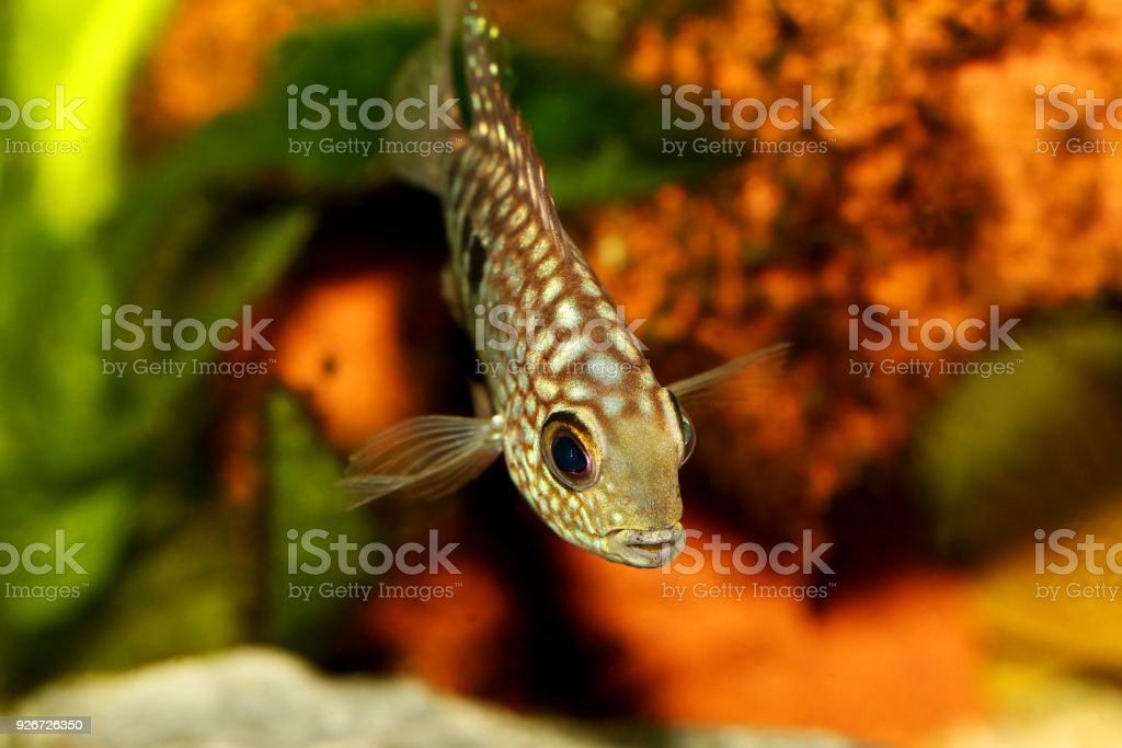 Green Texas cichlid Herichthys cyanoguttatus aquarium fish stock photo