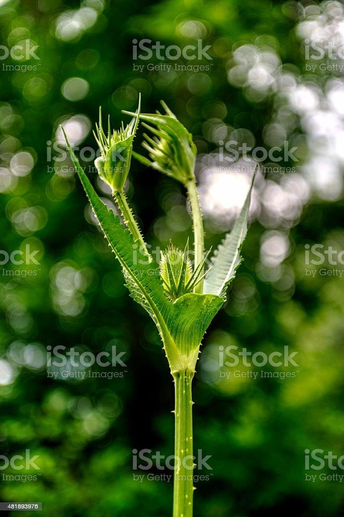 Green Thistle stock photo