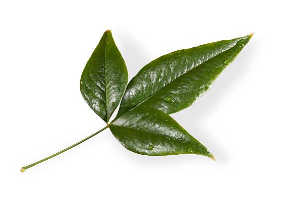 Green Three Leaf Cluster stok fotoğrafı