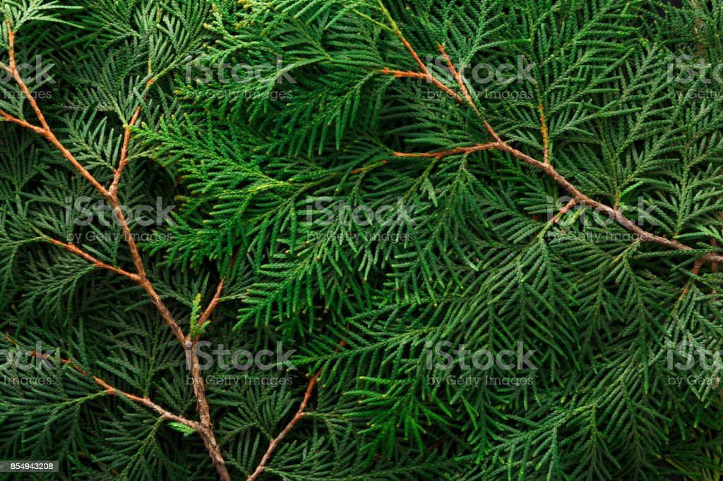Green thuja tree branches background stock photo