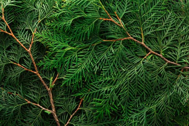 green thuja tree branches background - cypress tree stock photos and pictures