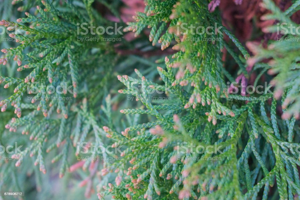 green thuja tree branches close up details as background image photo libre de droits