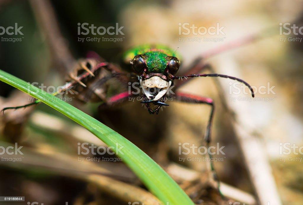 Green tiger beetle (Cicindela campestris) stock photo