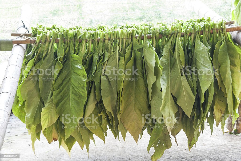 green tobacco leaves in the workshop stock photo