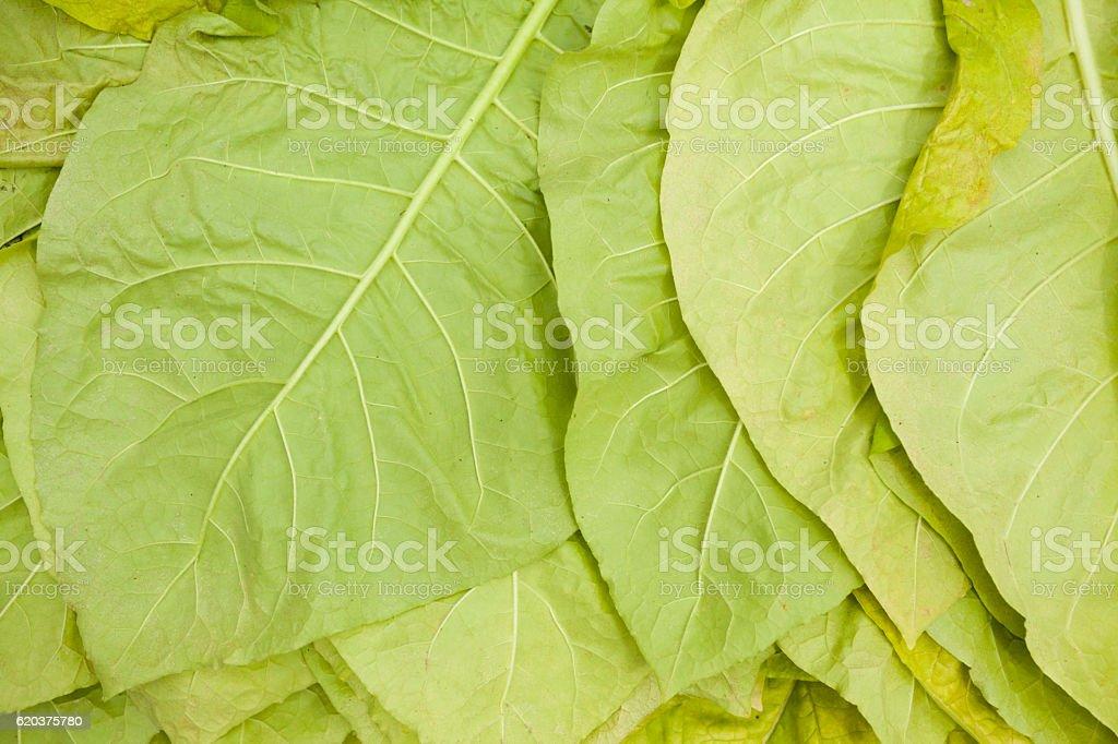 Verde folhas de tabaco foto de stock royalty-free
