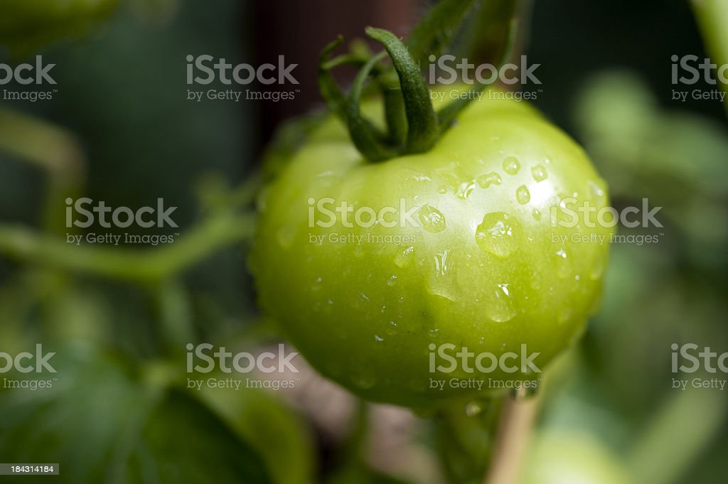 Green tomato in the vine royalty-free stock photo