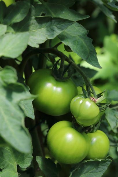 Green tomato on plant Green tomato on plant pejft stock pictures, royalty-free photos & images