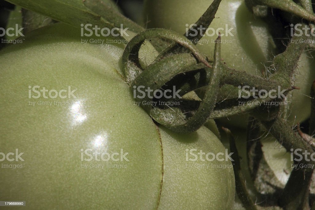 Green tomato royalty-free stock photo