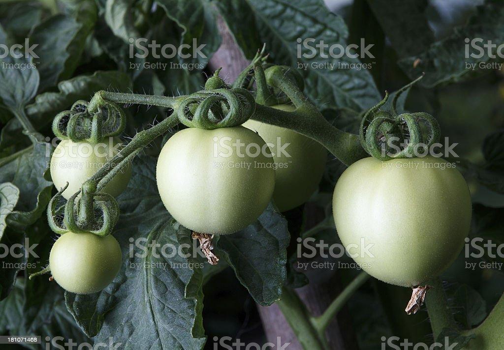 Green tomato plant royalty-free stock photo