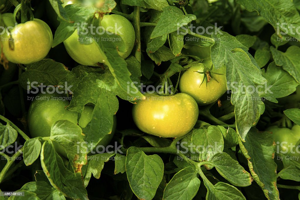 Green tomatoes growing on the vine at a farm. royalty-free stock photo