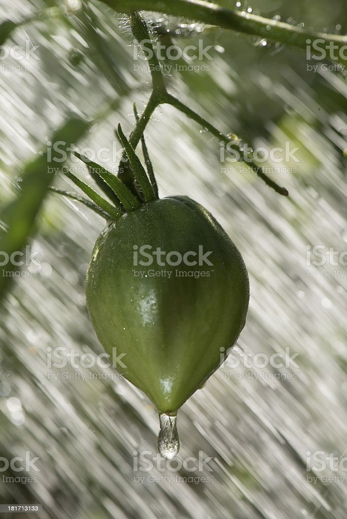 Green tomatoes in the rain royalty-free stock photo