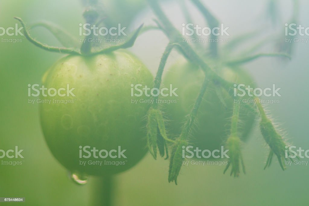 Green tomatoes in the vapour forcing-bed. royalty-free stock photo