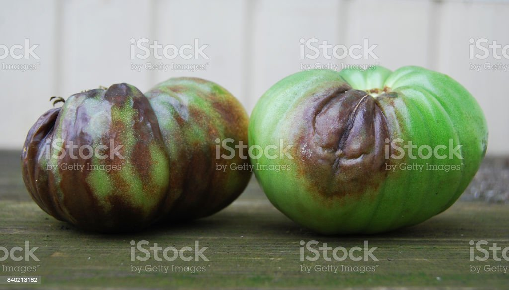 Green tomatoes, infected with late bloom stock photo
