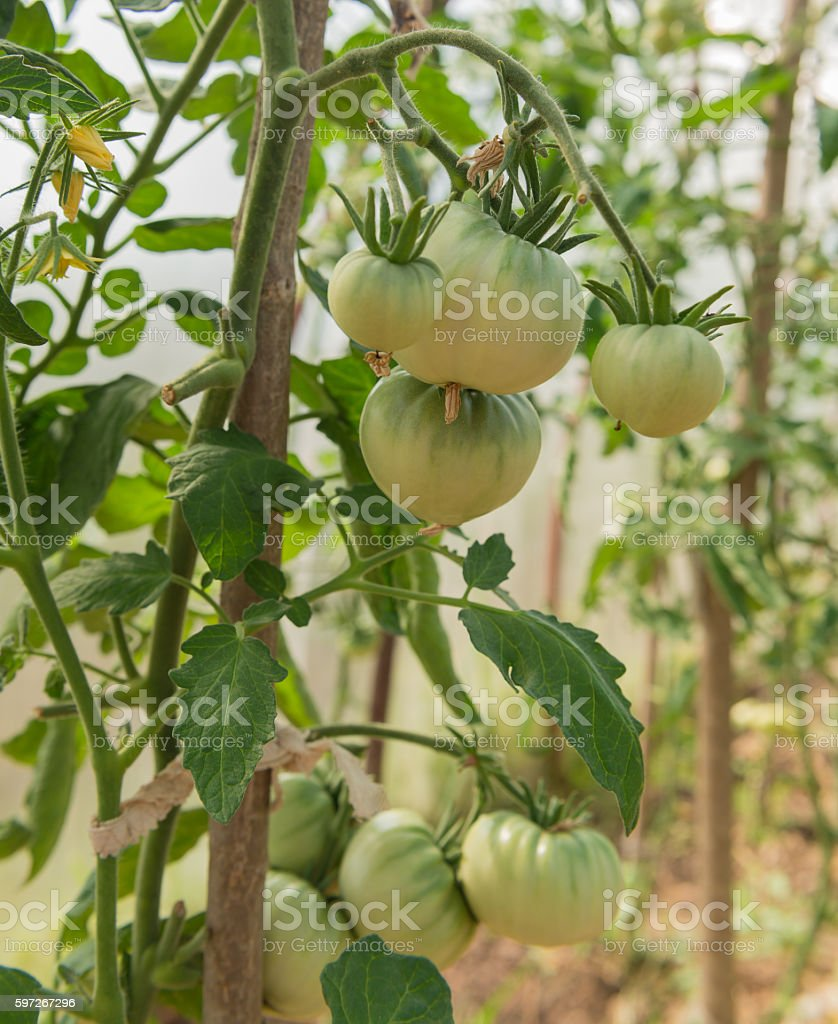 green tomatoes on a branch royalty-free stock photo
