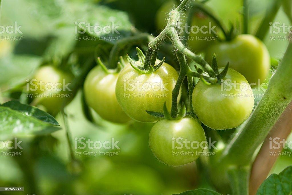 Green Tomatos stock photo