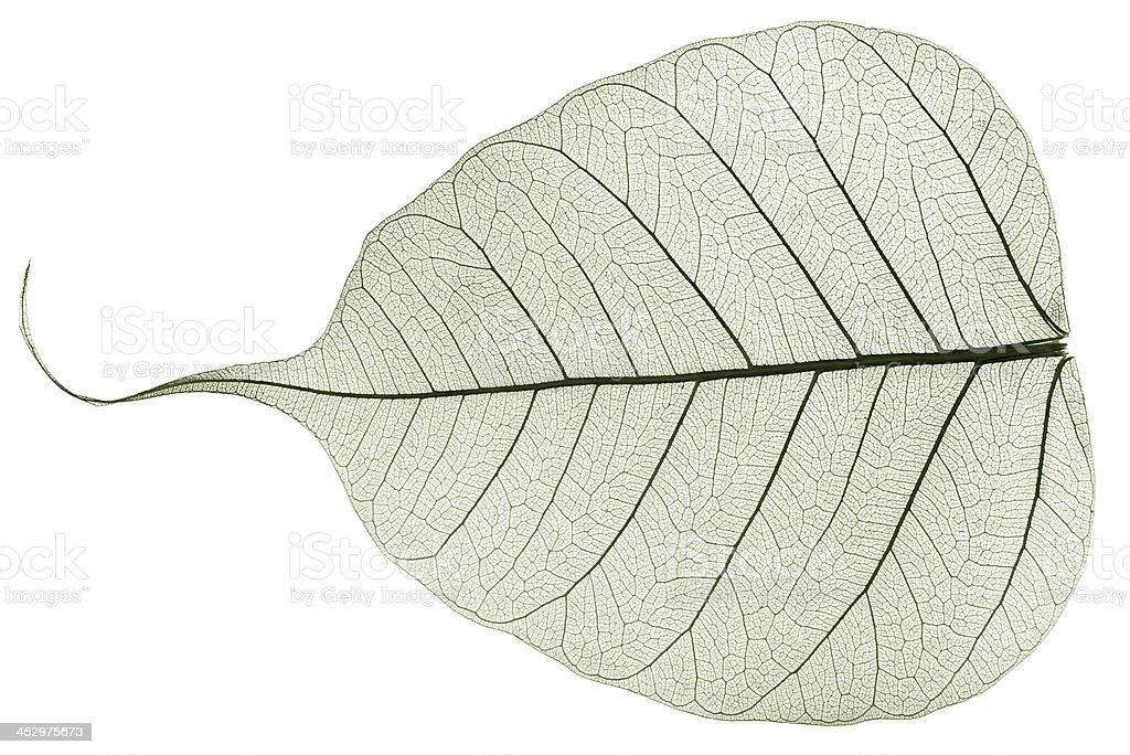 green transparent dried fallen leaf stock photo