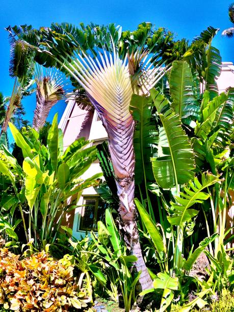 green traveler's palm / ravenala madagascariensis on a walk - maui, hi samuel howell stock pictures, royalty-free photos & images