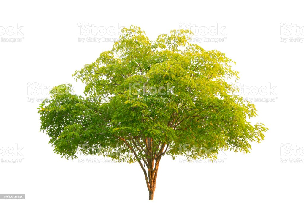 Green Tree at isolated on white background stock photo